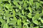 foto of purple sage  - fresh leaves fragrant sage ready to harvest - JPG