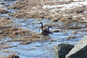 foto of snow goose  - Canada Geese standing in a little stream of water caused by a runoff of melted snow and ice - JPG