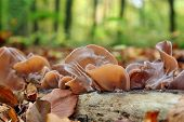 picture of judas  - Mushrooms Auricularia auricula - JPG