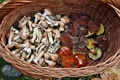pic of judas  - Edible fresh mushrooms in a basket nature - JPG