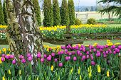 picture of straddling  - Pink tulips and yellow daffodils straddle a split rail fence on a flower farm.