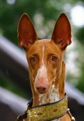 image of friendship belt  - The Pharaoh Hound is a breed of dog and the national dog of Malta - JPG