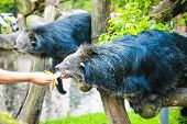 Feeding to black bears in the zoo