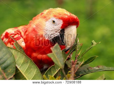 Close Up Of Red Scarlet Macaw Parrot Hiding In The Bushes In Amazonian Rainforest, South America