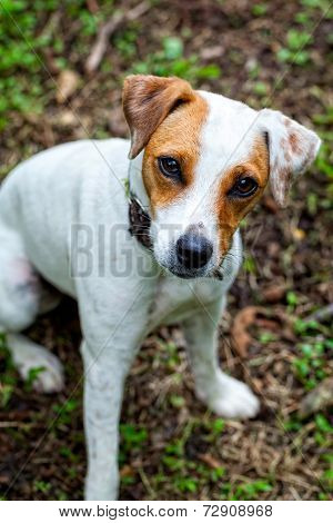 Cute Parson Russell Terrier White Puppy In The Park