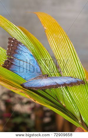 Morpho Menelaus Butterfly Was Named In 1758 By Carl Linnaeus (As Papilio Menelaus) To Honor The Greek Mythological Figure Menelaus, A King Of Ancient Sparta, South America
