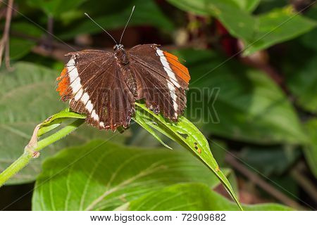 Adelpha Cytherea Linnaeus Is A Genus Of Brush Footed Butterfly, South America