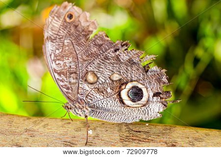 Oileus Giant Owl Butterfly