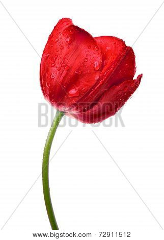 Dewy red tulip