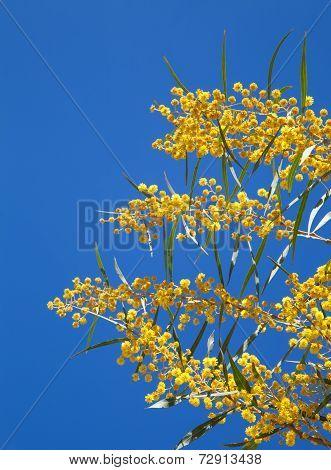 Yellow Flowers Of Golden Wattle. Acacia Pycnantha