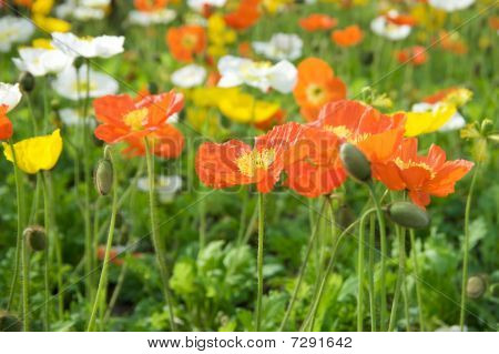 Multicolored flowers