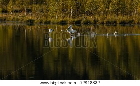 Whooper swan family taking off