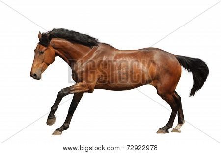 Brown Horse Galloping Fast Isolated On White