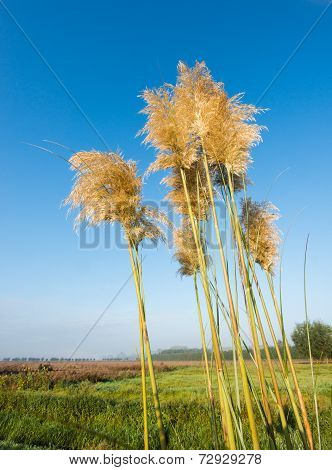 Golden Plumes Of  Pampas Grass Against A  Bright Blue Sky