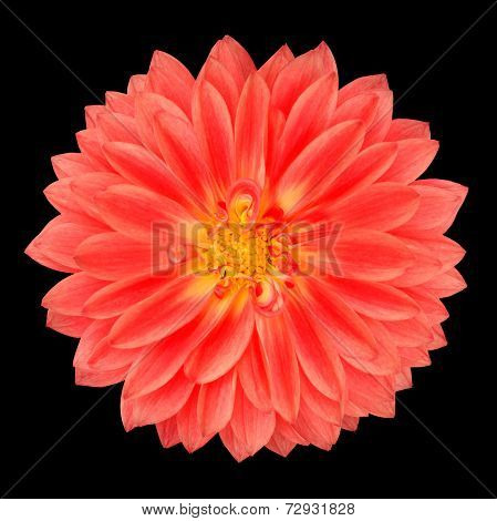 Red Pot Marigold Gerbera Flower Isolated On Black