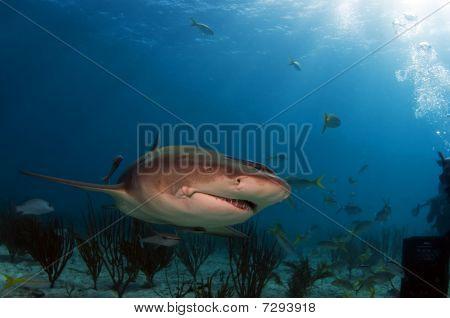 Cindy Lemon-Shark