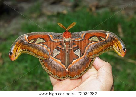 Female Attacus Atlas Moth On Hand