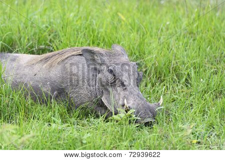 Common Warthog Resting In The Grass