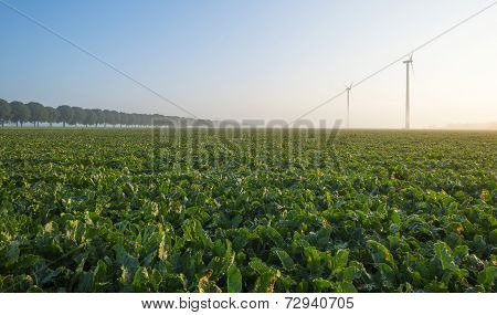 Turnip growing on a foggy field at dawn