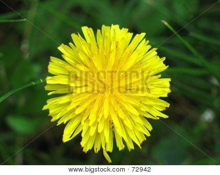 Dandelion Flower Close-up