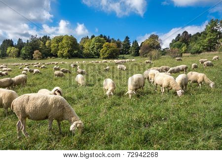 Sheep eat in a meadow