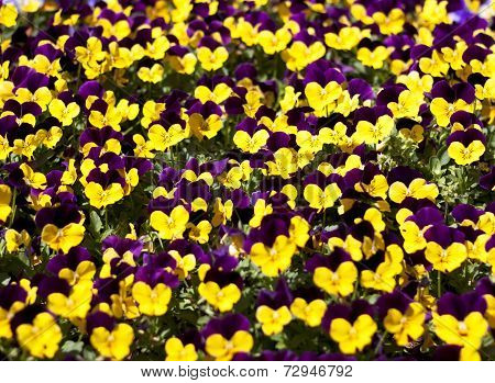 Viola Tricolor Pansy  Flower Bed Bloom