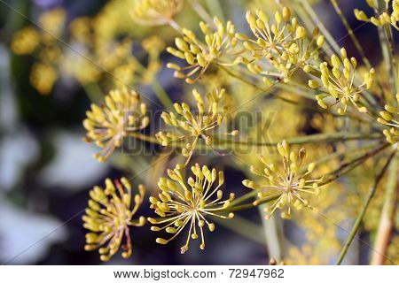 Dill (anethum Graveolens) Umbel