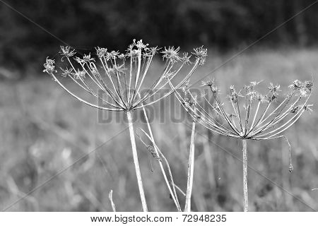 Wildflower Aegopodium Podagraria Umbels