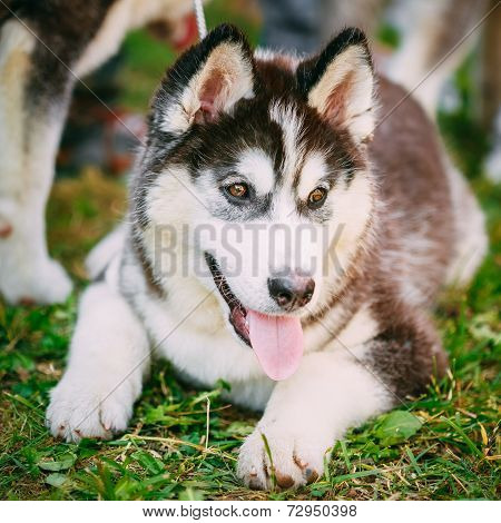 Happy Young Husky Puppy Eskimo Dog