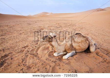 Camel In Sahara.