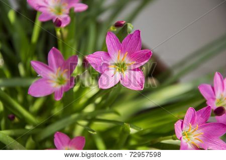 Lilly Flowers And Green Leaves