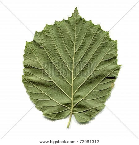Hazel Tree Leaf