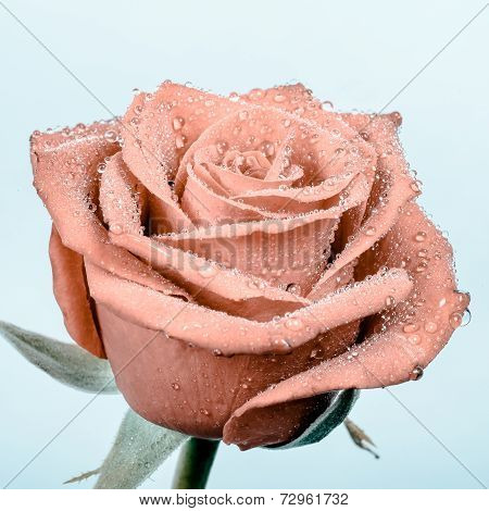 Beautiful Apricot Rose With Water Drops