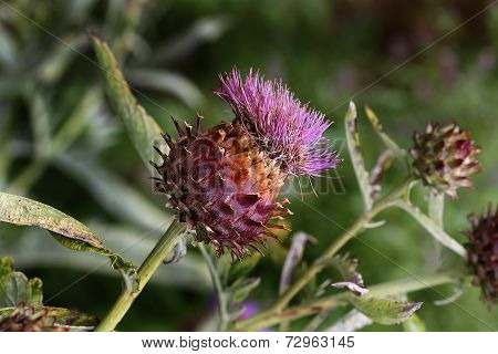 Large Thistle head.