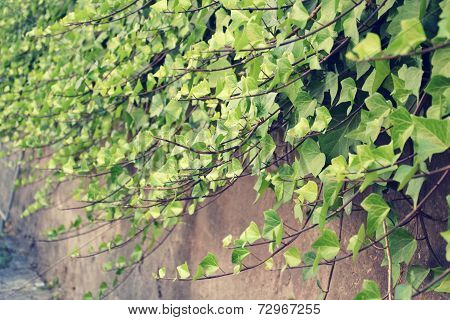 Filtered Picture Of Green Common Ivy