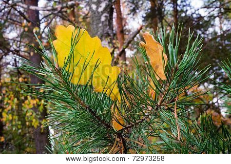 Yellow Autumn Leaves Of An Oak And Branch Of A Pine.
