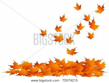 Maple leaves falling