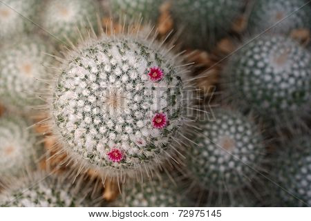 Round cacti with blooming flowers