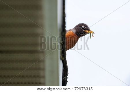 Robin Bird With Worms In Its Beak