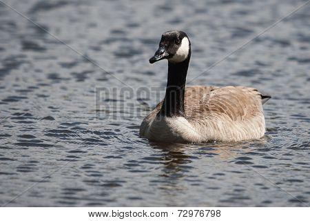 Canadian Goose Swimming