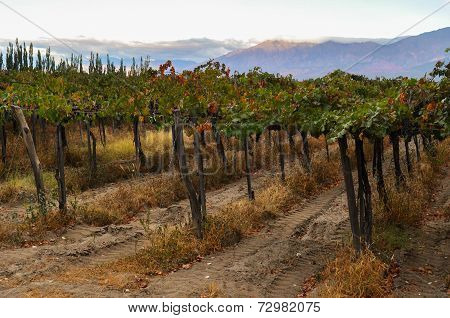 Fruity Wineyards Of Cafayate In North Argentina
