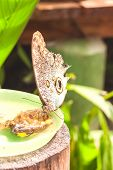 picture of cocoon tree  - Giant Caligo oileus - JPG