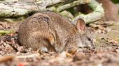 picture of wallabies  - Sleeping parma wallaby in a dutch zoo - JPG