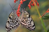 stock photo of mating  - Large Tree Nymphs butterflies mating - JPG