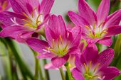 stock photo of lilly  - Few lilly flowers of dark colors and along with the plant.