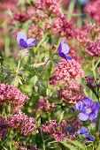 stock photo of manor  - Purple and pink wildflowers in a seed sown urban meadow by Pictoral Meadows Ltd - JPG