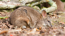 picture of tammar wallaby  - Sleeping parma wallaby in a dutch zoo - JPG