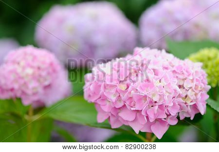 Hydrangea Flowers Growing In The Garden