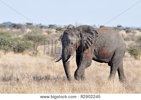 African Elephant Bull