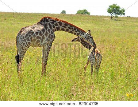 Female Giraffe In Africa With A Calf.